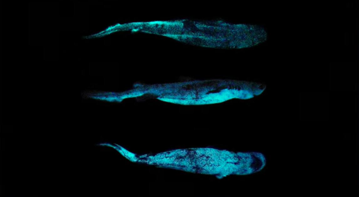 bioluminescant shark
